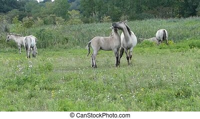Horses caressing each other - Two Konik horses push...