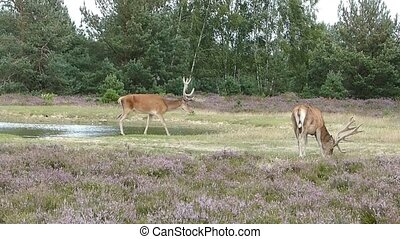 Red deer foraging for food - After drinking from a nearby...