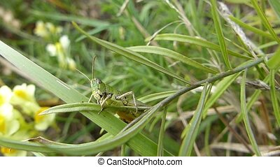 Grasshopper performs balancing act - A camouflaged...