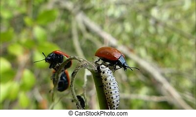 Beetles fight off a larva invasion - A swarm of red leaf...