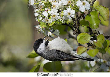 Hanging Carolina Chickadee - A cute Carolina Chickadee hangs...