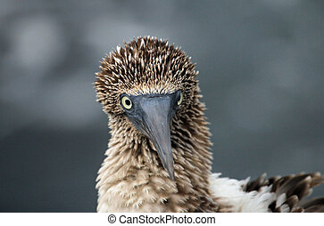 Blue footed booby close up - Blue footed booby, close up on...