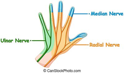 Nerve system in human hand
