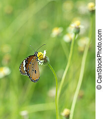 Plain Tiger butterfly (Danaus chrysippus butterfly) on a...
