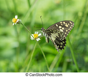 Black-veined Sergeant butterfly Athyma ranga on flower -...