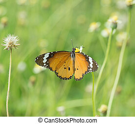 Plain Tiger butterfly Danaus chrysippus butterfly on a...