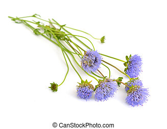 Knautia arvensis, commonly known as field scabious. Isolated...