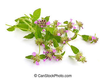 Mentha pulegium, commonly European pennyroyal, also called...