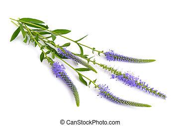 Veronica, longifolia, sabido, como, jardim, speedwell, ou,...