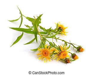 Inula britannica, the British yellowhead or meadow fleabane