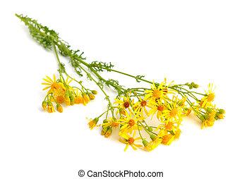 Jacobaea vulgaris, Senecio jacobaea, ragwort, common...