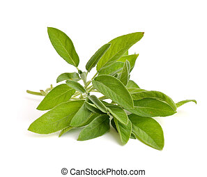 Salvia officinalis sage, also called garden sage, or common...