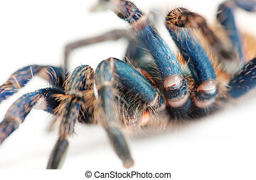 beautiful spider chromatopelma cyaneopubescens, true colors...