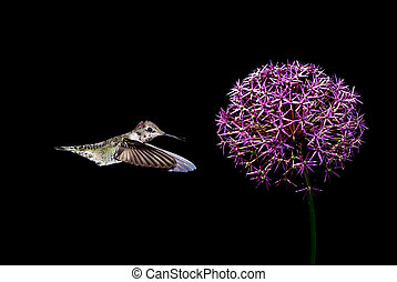 Hummingbirds with tropical flower over black background -...