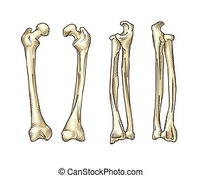 Hand drawn realistic human bones. Vector illustration...