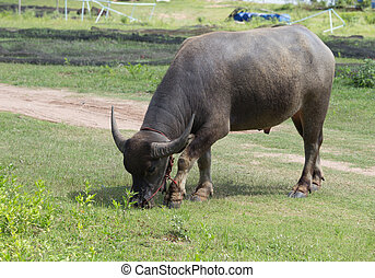 buffalo eating grass on the field - water buffalo eating...