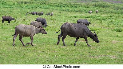 Water buffalo in the grass field