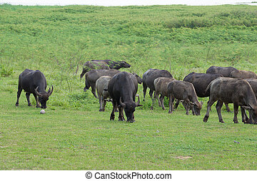 buffalo eating grass on the field - water buffalo eating...