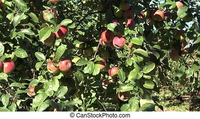 Red apples grows on a branch among the green foliage against...