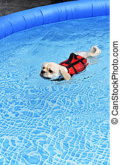 Dog swimming in training pool
