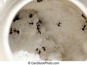 Ants in a  mug with sugar - Ants in a white mug with sugar