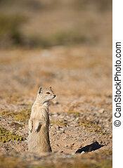 Weary Yellow Mongoose