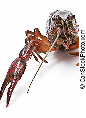 Crayfish - Crayfish isolated on a white background