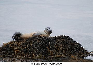 Balancing Seal Pup in Casco Bay - Seal pup balancing on a...