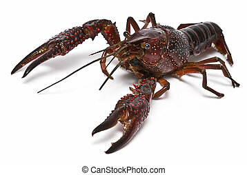 Crayfish. - Crayfish isolated on a white background.
