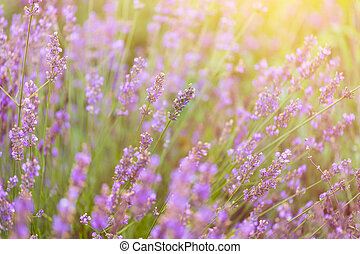 close up of lavender flowers in the fileds, selective focus...