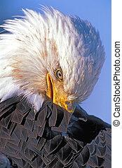 Close up Head of Bald Eagle - Bald Eagle adult bird,...