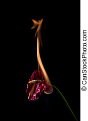 anthurium flower on fire with flames on black background