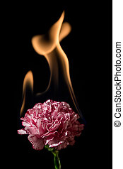 Carnation flower on fire with flames on black background