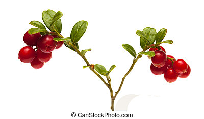 lingonberry branches isolated on white - lingonberry...