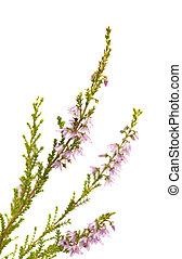 Calluna vulgaris , common heather isolated on white...