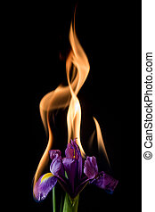 iris flower on fire with flames on black background