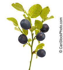 Bilberry branches with berries isolated on white background