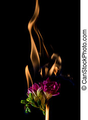 freesia flower on fire with flames on black background