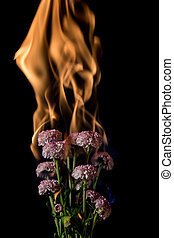 chrysanthemum flower on fire with flames on black background