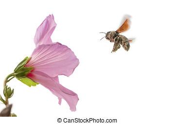 apidae xylocopinaeblack bumblebee pollinating - flying...