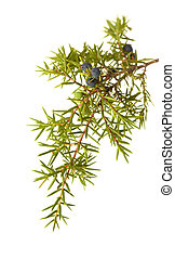 common juniper twig with ripe and unripe berries isolated on...