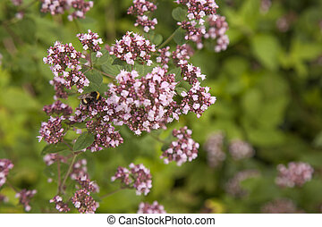 flowering Marjoram plants and bumblebee