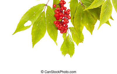 Sambucus racemosa, red elderberry isolated on white