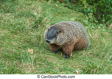 Groundhog - Single brown groundhog foraging for food in the...
