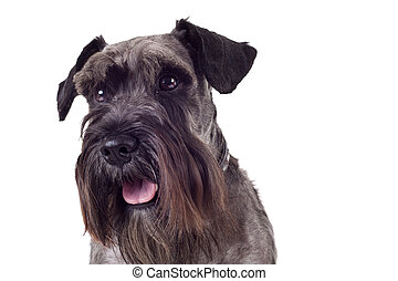 miniature schnauzer - portrait of a black miniature...
