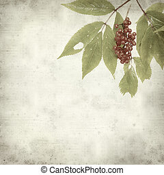 textured old paper background with Sambucus racemosa, red...