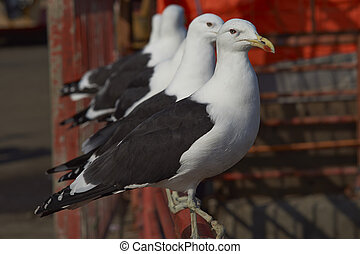 Kelp Gulls Larus dominicanus at the fish market in the port...
