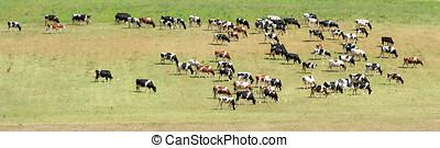 manada, de, vaca, pasto