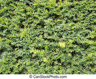 Yew tree hedge