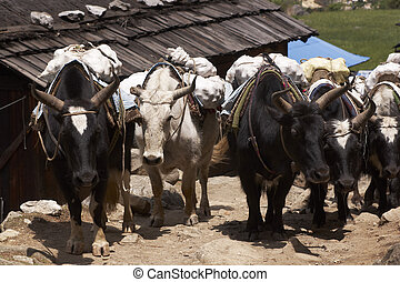 Yak Carrying Baggage - Group of Yaks carrying goods along...